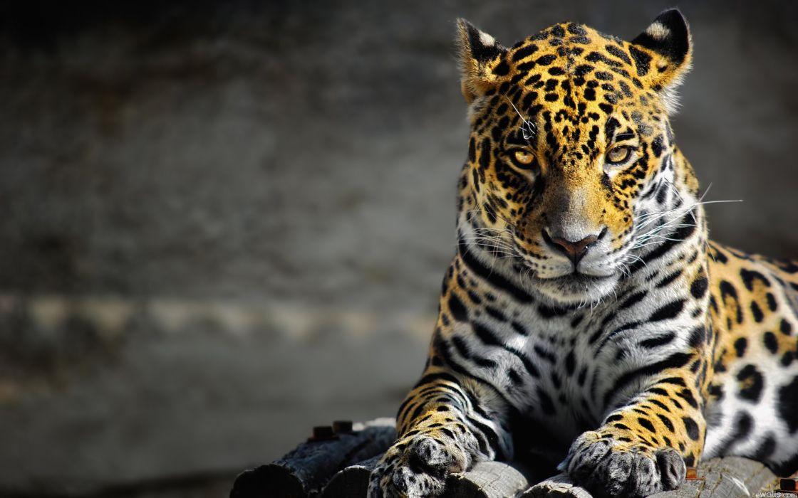 animals cats leopards spots fur face eyes whiskers predator wallpaper