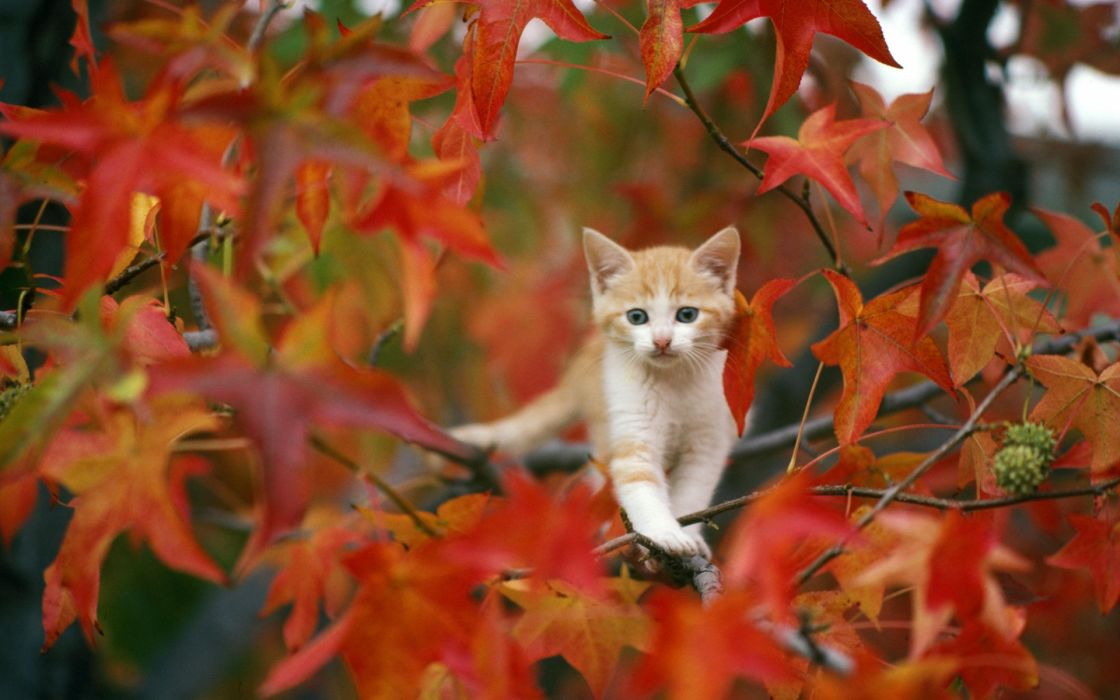 animals cats kittens fur face whiskers trees autumn fall seasons leaves cute wallpaper