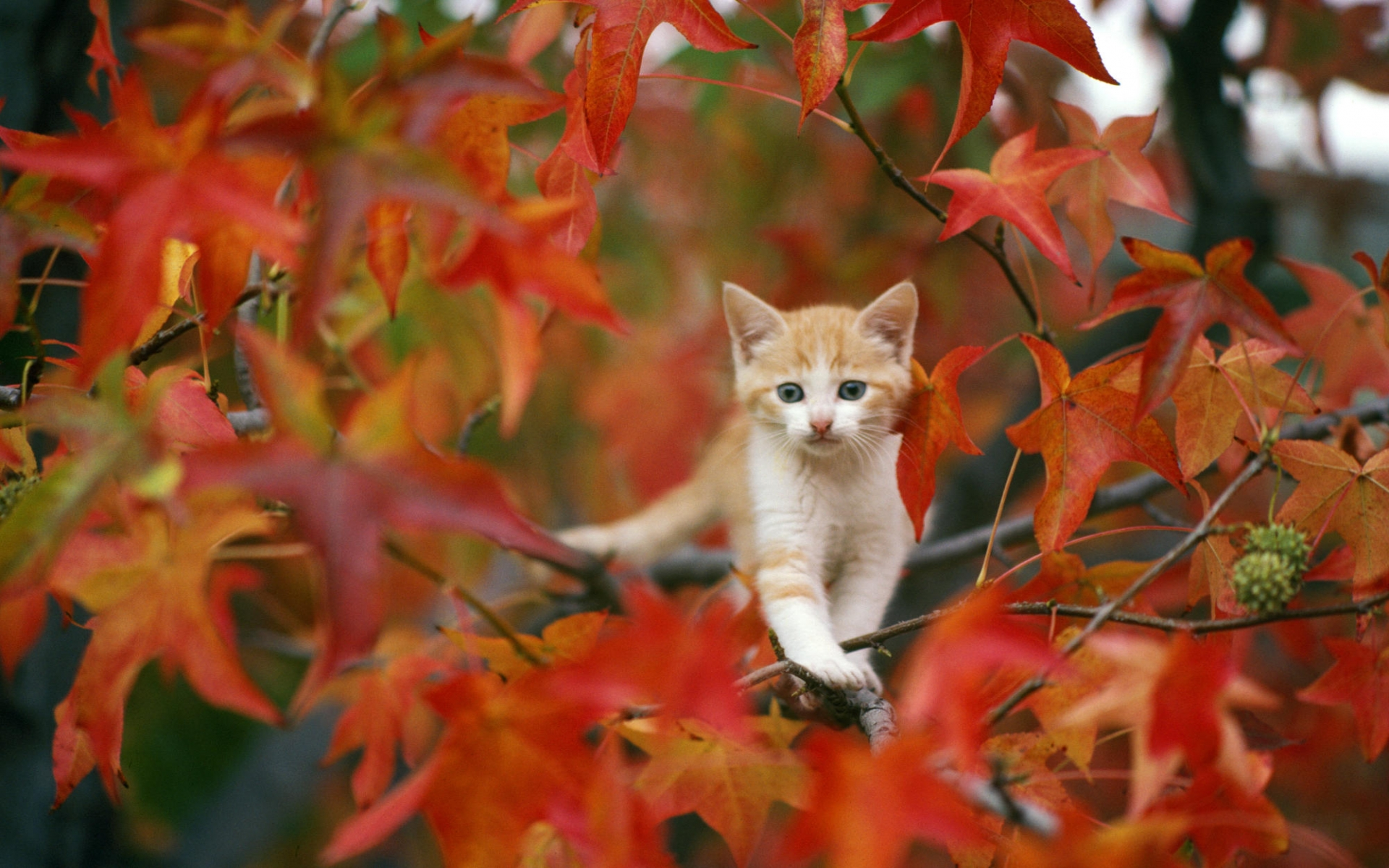 Animals cats kittens fur face whiskers trees autumn fall seasons animals cats kittens fur face whiskers trees autumn fall seasons leaves cute wallpaper 1920x1200 26338 wallpaperup voltagebd Images