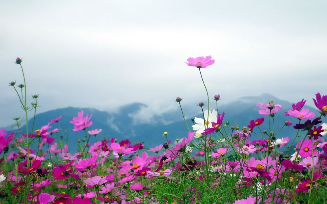 nature landscapes flowers plants fields mountains sky clouds petals pink wallpaper