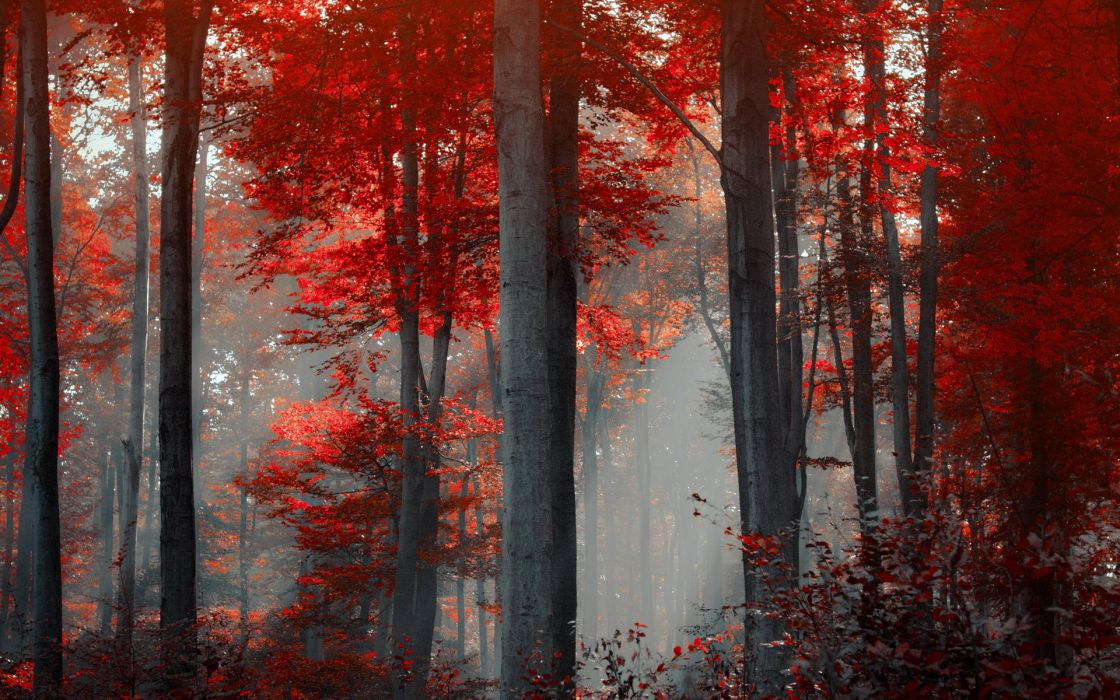 nature landscapes trees forest leaves trunk bark autumn fall seasons red color sunlight sunbeam beams light art cg digital wallpaper