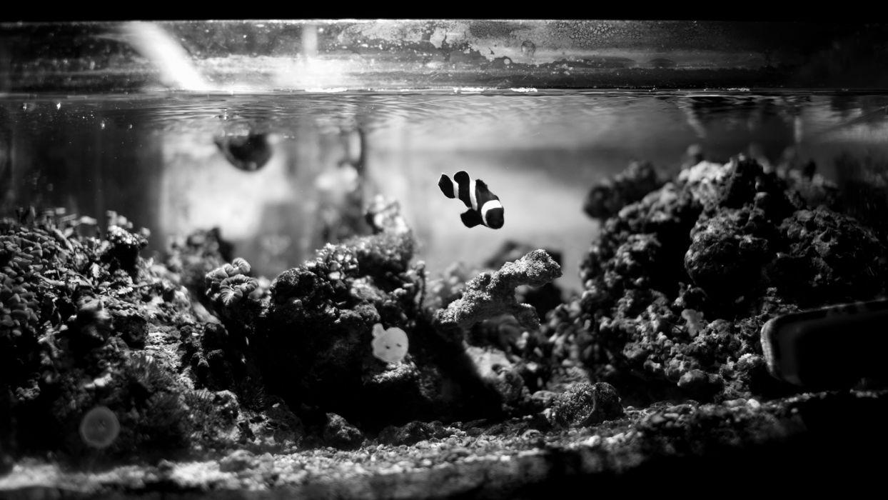 animals fishes Clown Fish aquarium black white water reef coral underwater glass liquid stripes tropical wallpaper