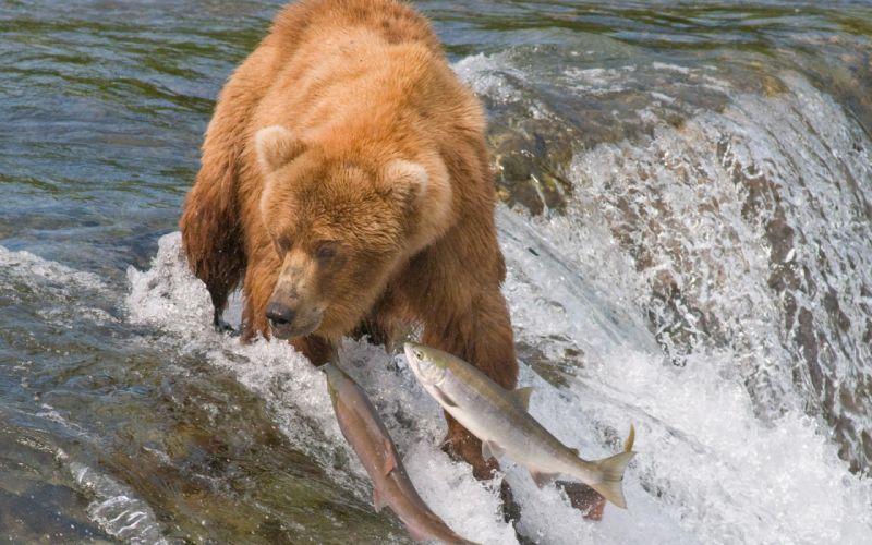 grizzly bears salmon predator fishes wildlife nature waterfall river stream fishing swimming motion wallpaper