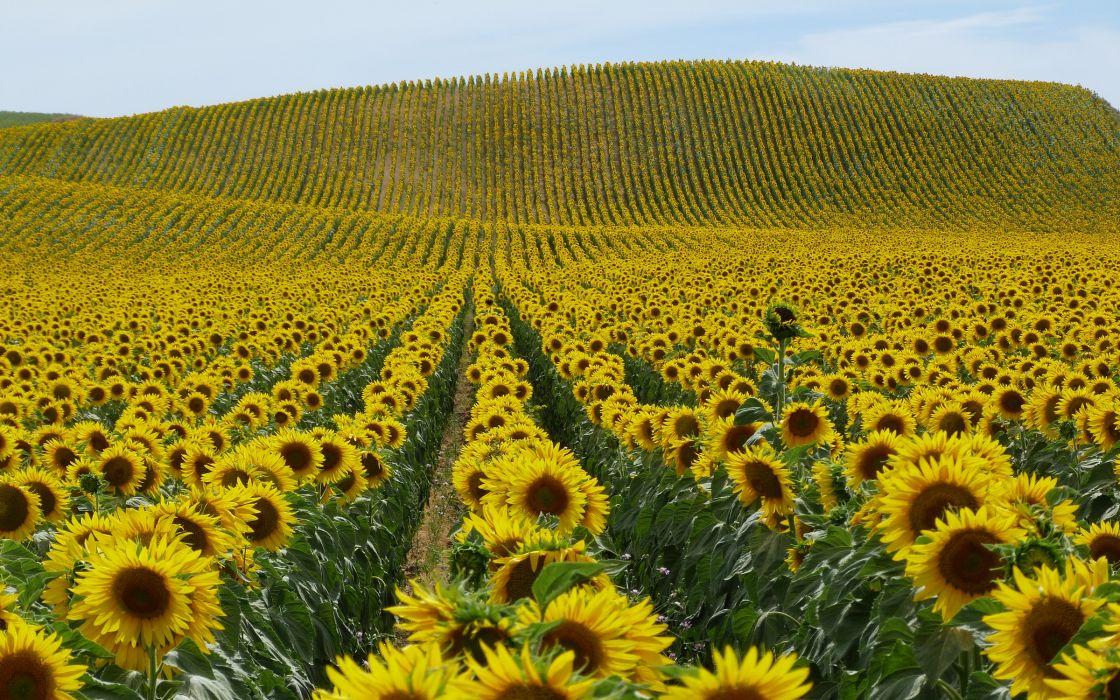 nature landscapes fields flowers sunflowers petals plants hills yellow wallpaper
