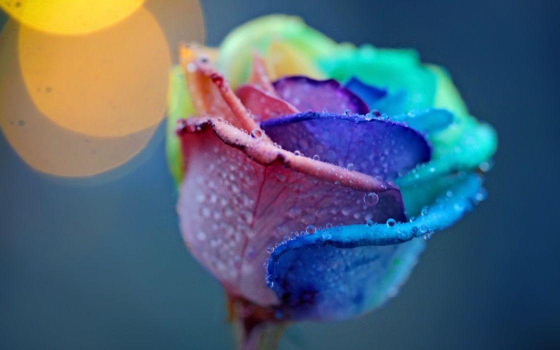 nature flowers bokeh still life petals selective color drops dew macro water wallpaper