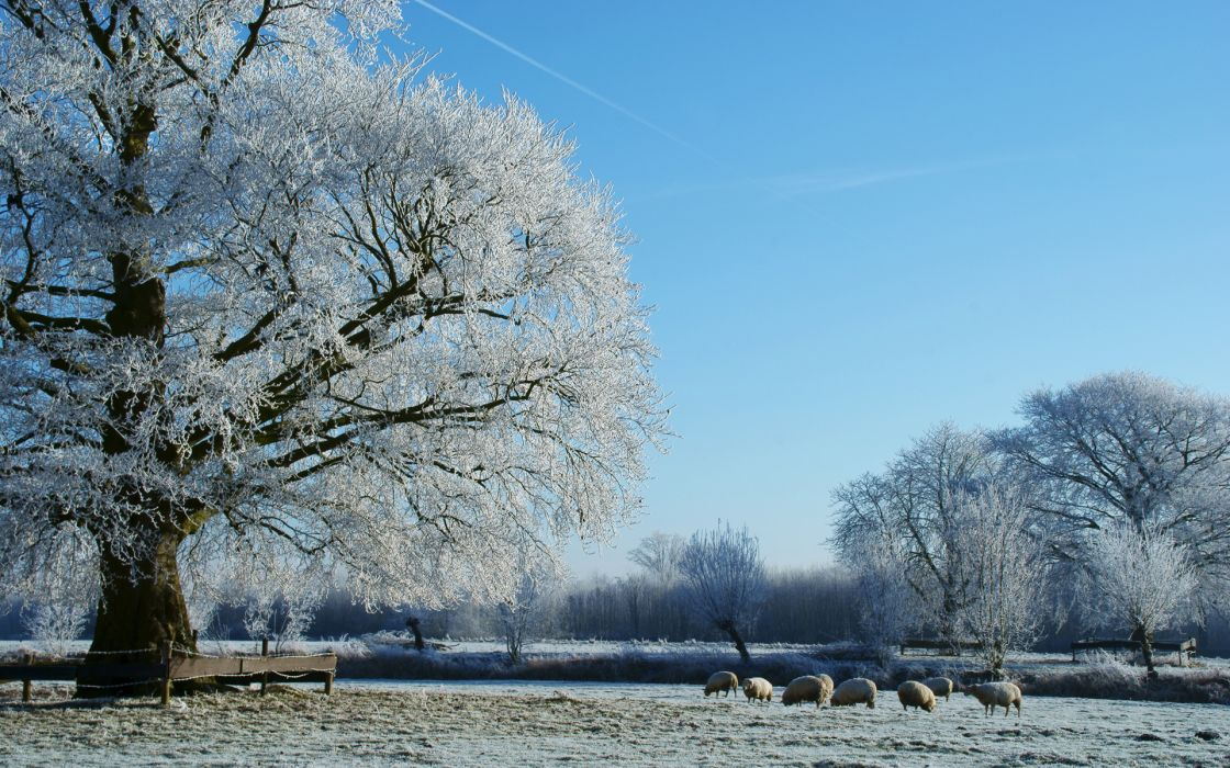 nature landscapes fields trees winter snow seasons fence pasture grass frost animals sheep country grazing wallpaper