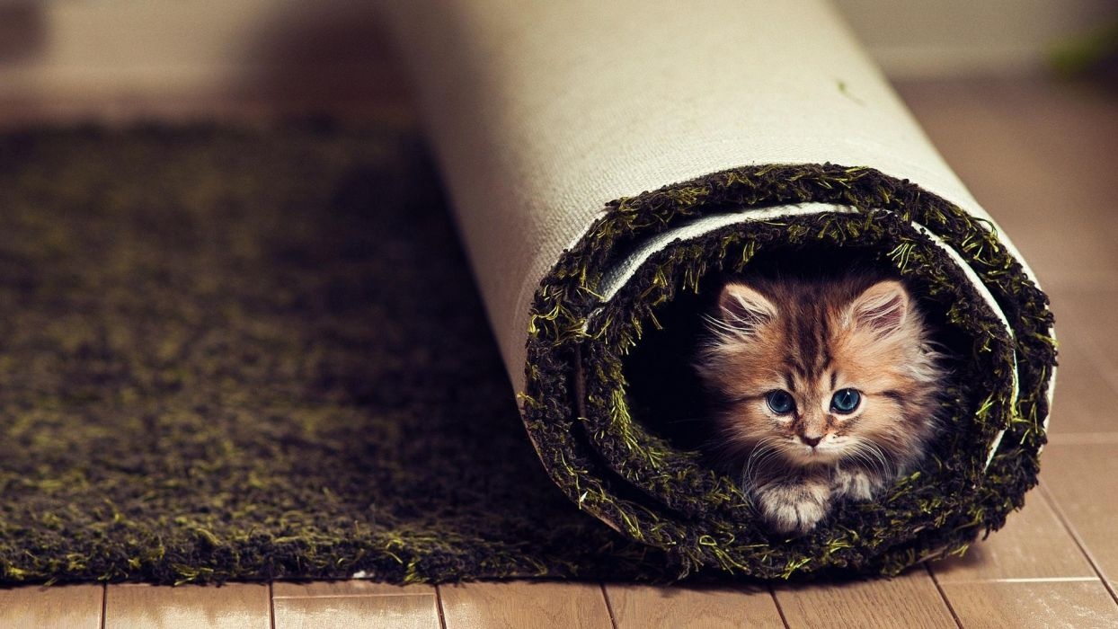 animals cats kittens cute fir face whiskers eyes carpet humor funny wallpaper