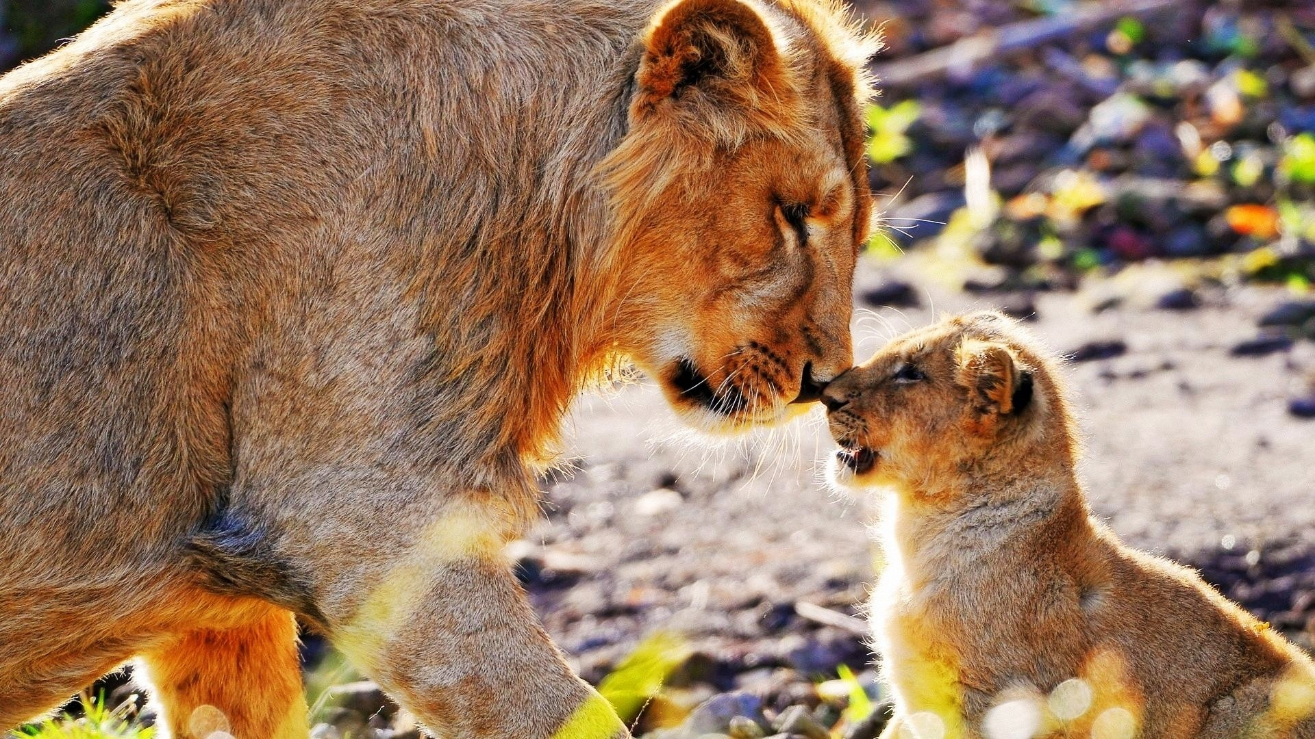 Animals cats lions cubs babies fur whiskers africa ...