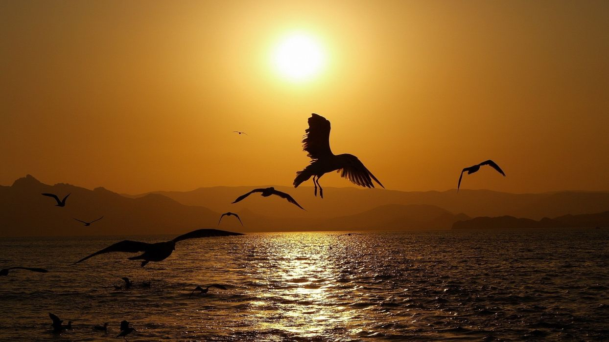 animals birds nature seascape wings sunset sunrise sun water reflection flight fly gull scenic wildlife wallpaper