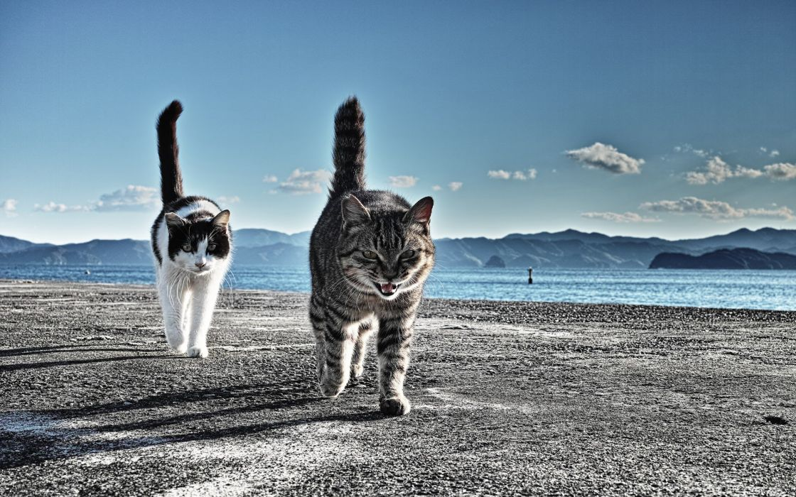 animals cats felines fur whiskers beaches water sound bay mountains sky clouds wallpaper