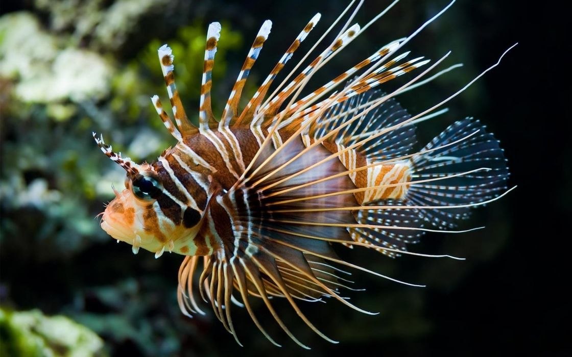 lionfish animals fishes underwater ocean sea sealife life fins color tropical nature wallpaper