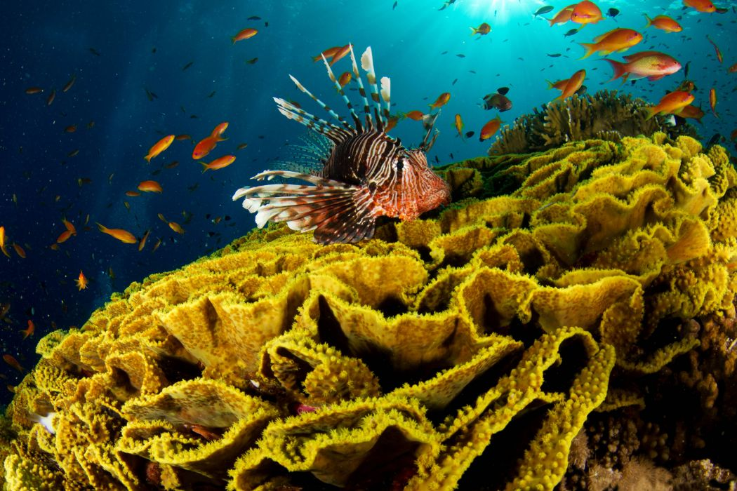 lionfish animals fishes underwater sea ocean tropical reef coral color fins sealife life nature fins sunlight ocean sea water wallpaper