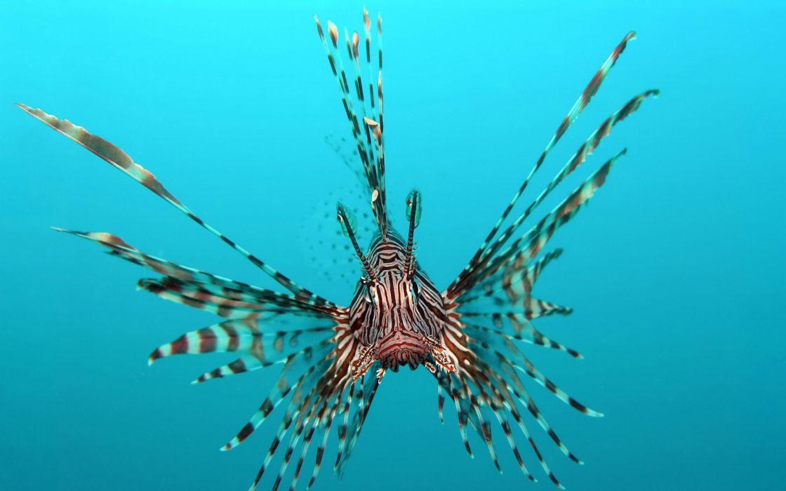 lionfish animals fishes underwater sea ocean tropical water swim fins wallpaper
