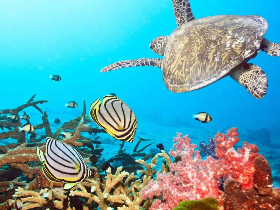 Animals Fishes Turtle Ocean Sea Water Underwater Coral Reef Tropical Sunlight Colors Detail Wallpaper