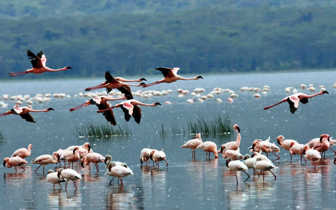 Flamingo animals birds color flight fly wings nature lakes water grass shore wallpaper
