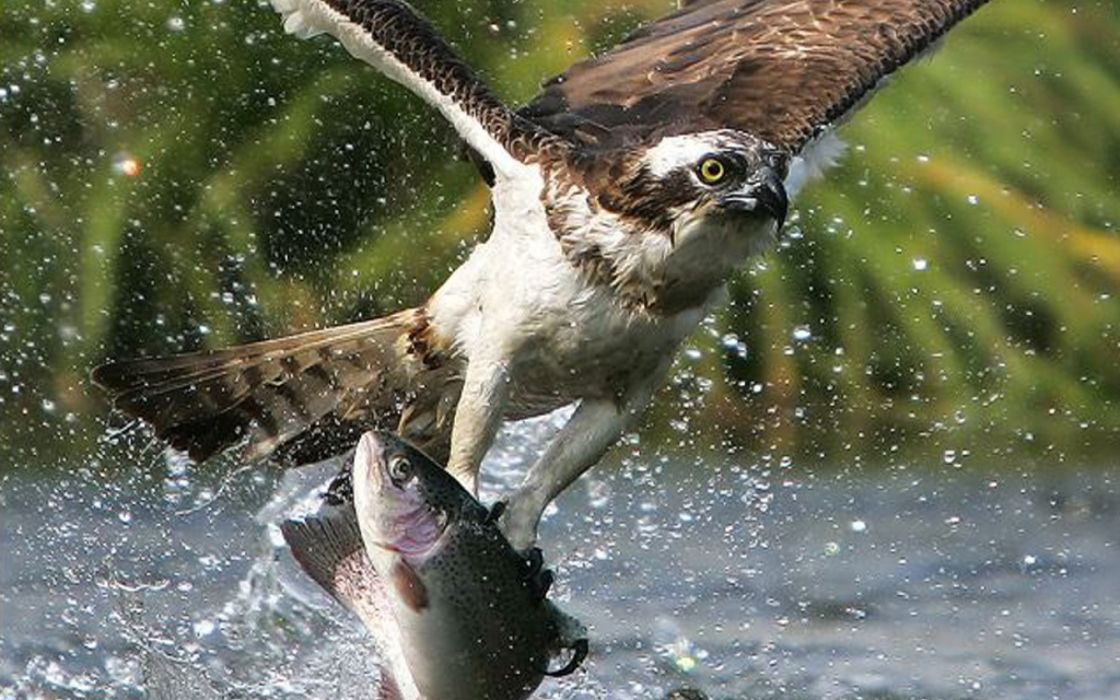 Golden Eagle animals birds raptor predator flight fly wings feather drops splash water rivers lakes face eyes fishes hunt fishing wildlife nature wallpaper