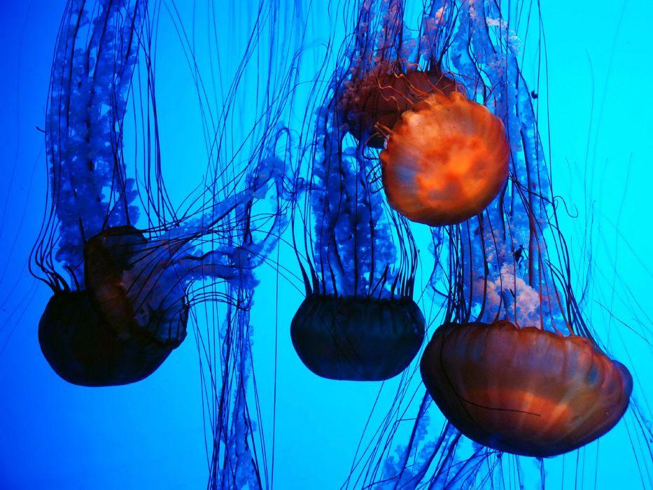 Jellyfish animals sea life ocean underwater color contrast seascape wallpaper