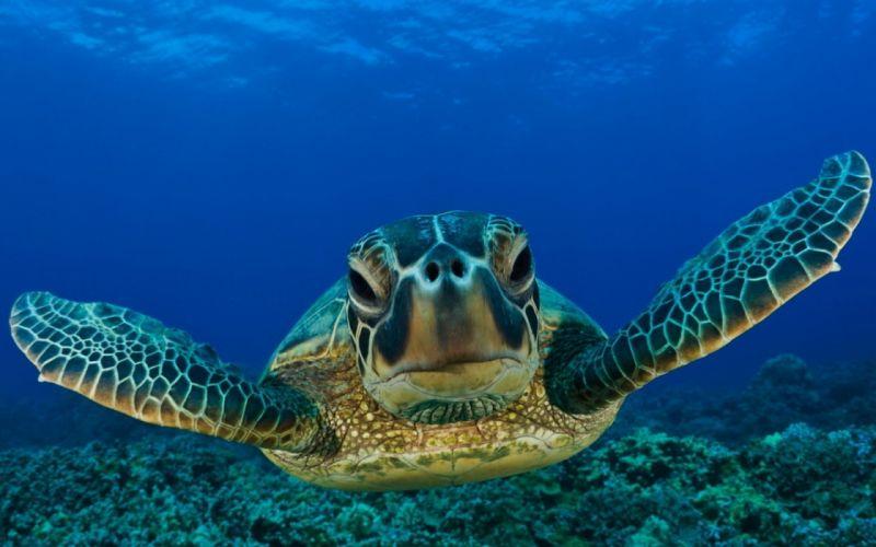 animals reptiles turtles sea life ocean underwater water swim float face eyes close up smile sunlight wallpaper
