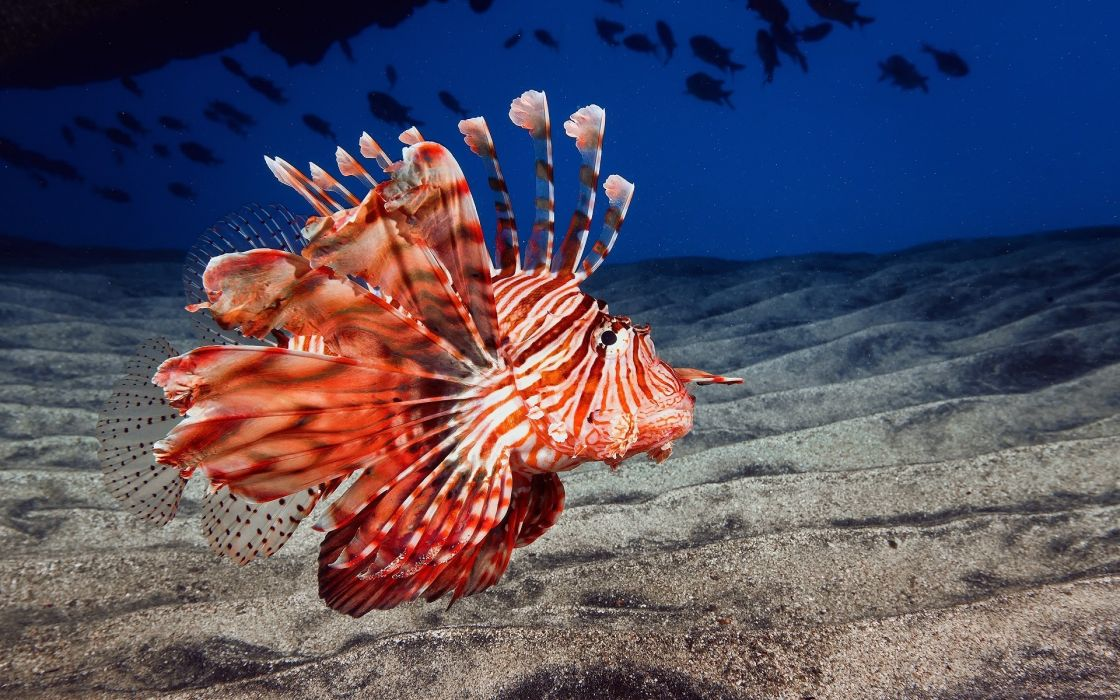 lionfish animals fishes underwater sea ocean life sand color fins eyes wallpaper