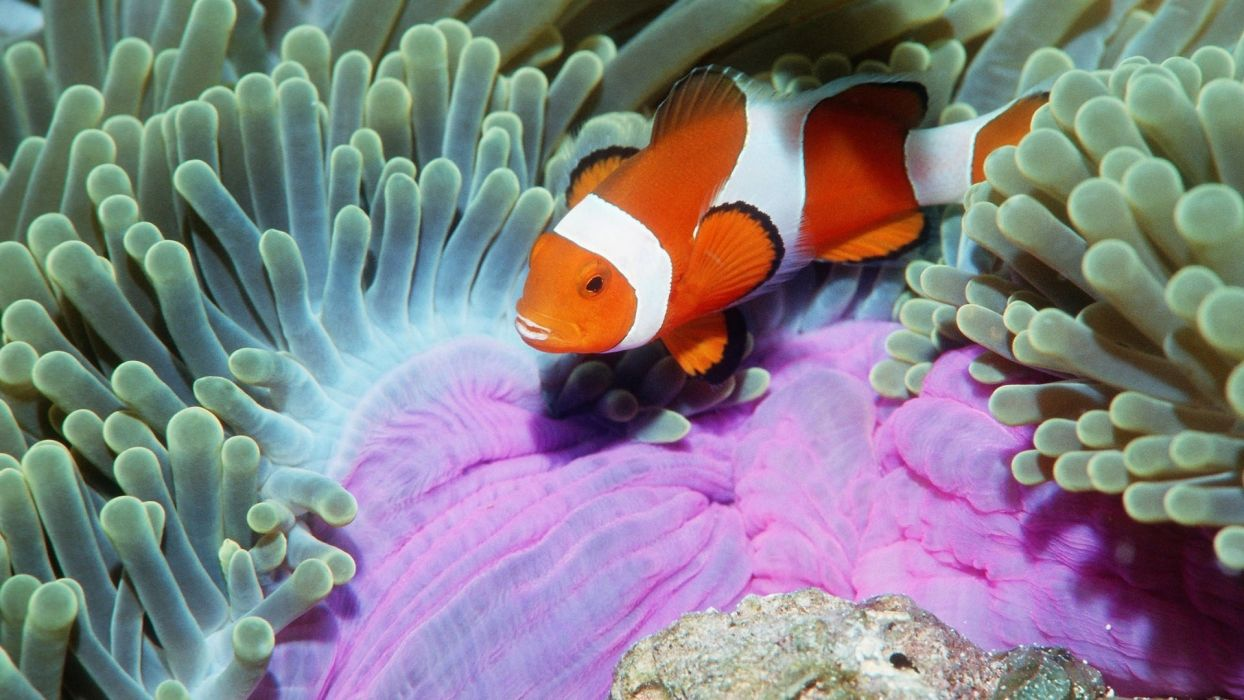animals fishes tropical color clownfish underwater sea ocean life pattern stripes fins wallpaper