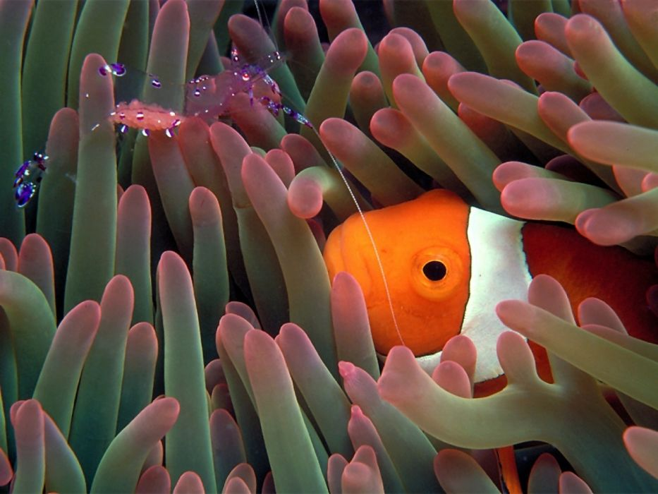 clownfish sea anemones underwater ocean color life tropical reef eyes stare face contrast wallpaper