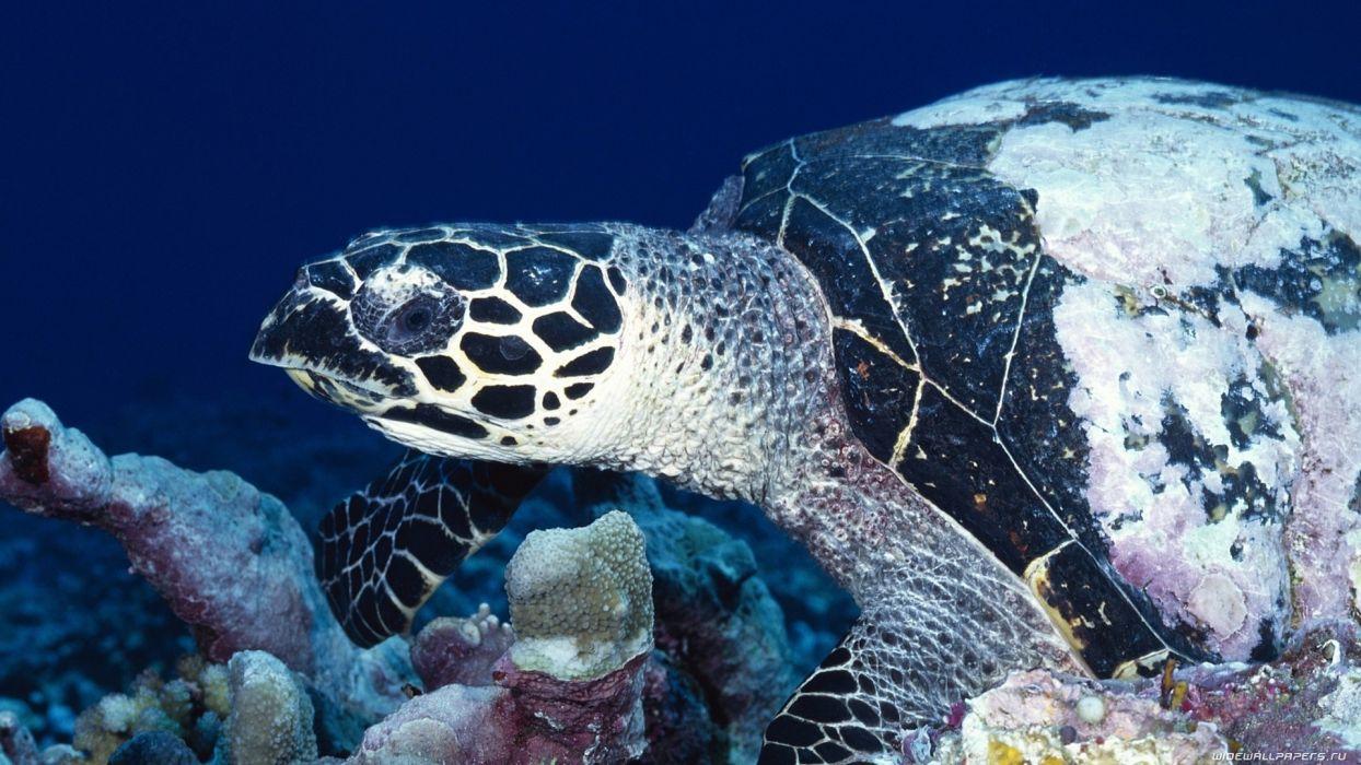 animals retiles turtle sea ocean underwater swim float reef coral tropical eyes life shell wallpaper