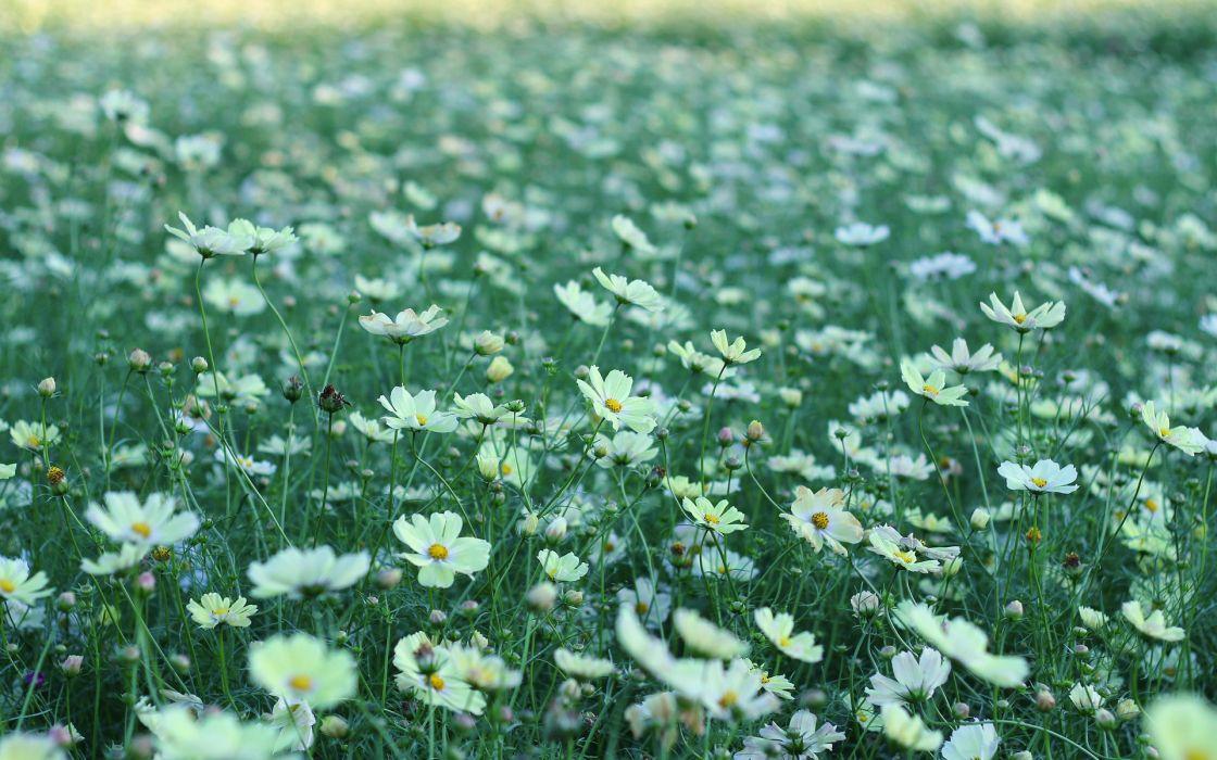 nature flowers fields petals plants bokeh wallpaper