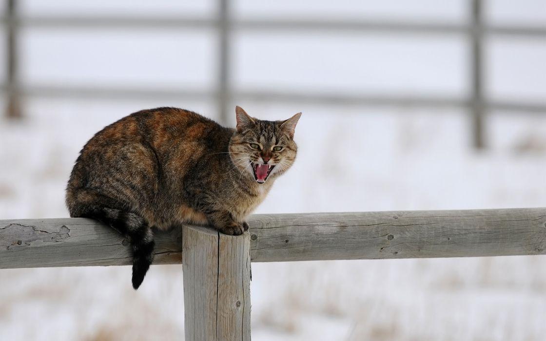 animals cats felines fur whiskers fence winter snow seasons wallpaper