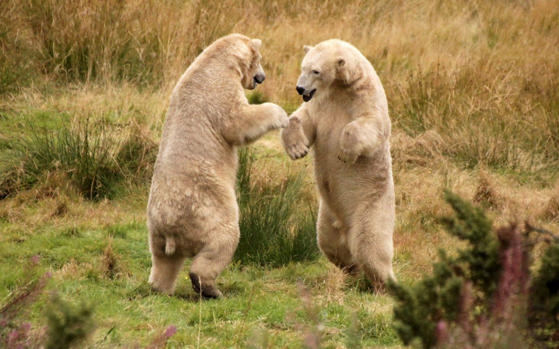 animals nature predator polar bears grass fight play paws grass fields alaska fur wallpaper