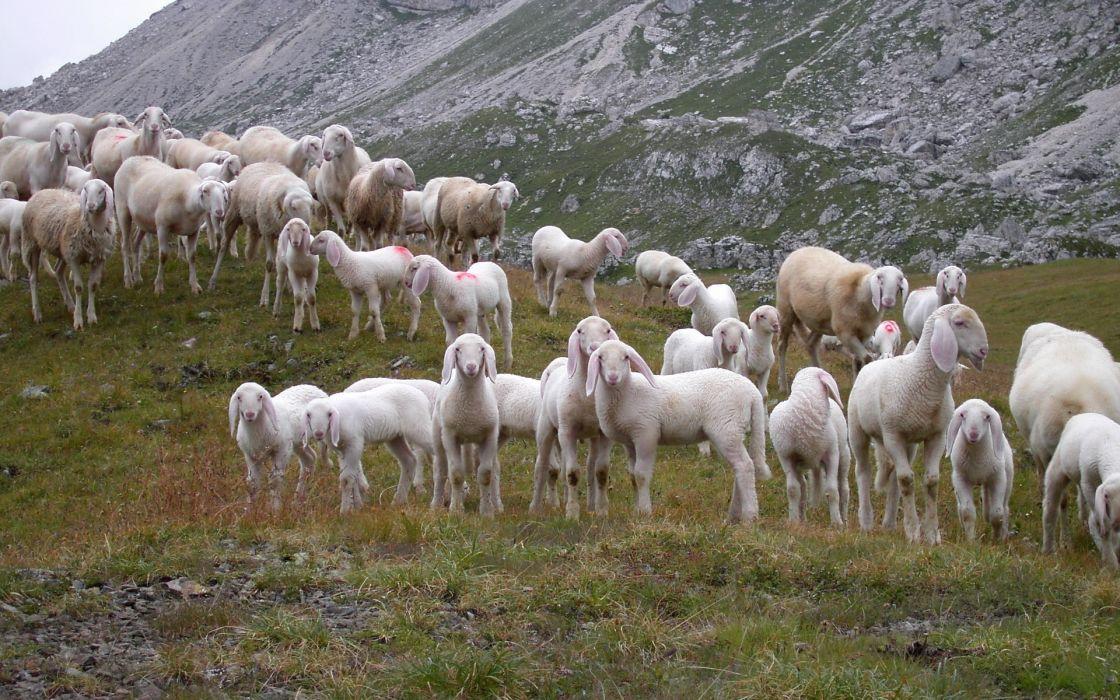 animals sheep mountains hills nature flock herd wallpaper