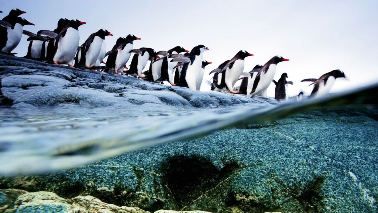 Penguins animals birds ocean sea underwater swim water photography shore coast beaches snow cold nature wallpaper