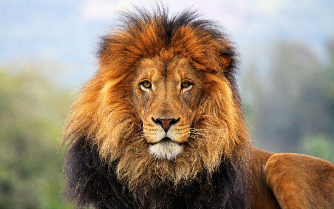 animals cats lion mane fur face eyes predator wildlife wallpaper