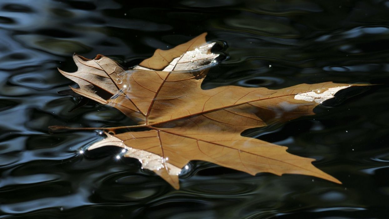 nature leaves autumn fall seasons water ripple puddle pond reflection float swim wallpaper