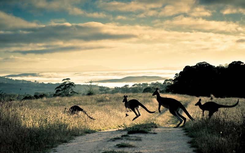 kangaroo marsupial Macropodidae animals australia outback roads track trail street nature landscapes fields grass hills scenic view fog mist clouds mountains sky clouds wallpaper