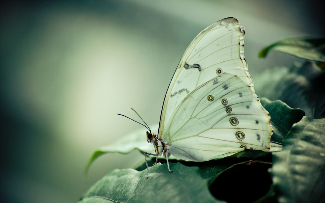 animals butterfly nature macro close up wings plants leaves wildlife soft wallpaper