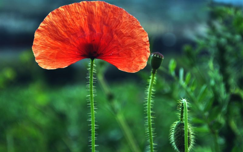 nature flowers poppy poppies petals red green plants bulbs macro closeup fields landscapes color contrast wallpaper
