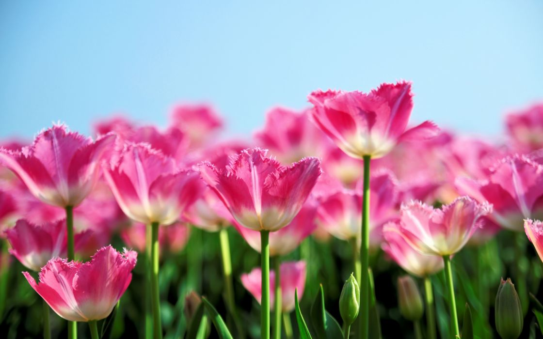 nature flowers pink petals plants fields sky contrast wallpaper