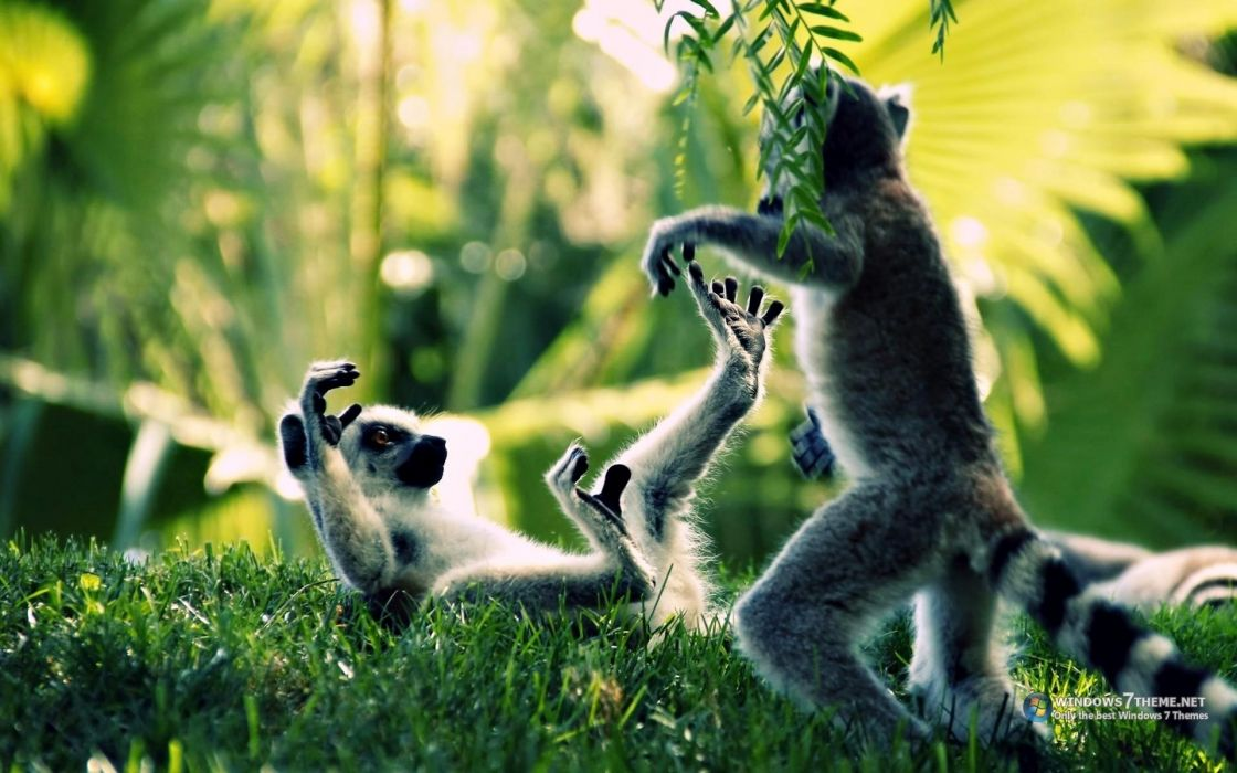 ring tailed lemur primate Madagascar tails rings stripes play cute wildlife grass trees forest jungle plants fur wallpaper