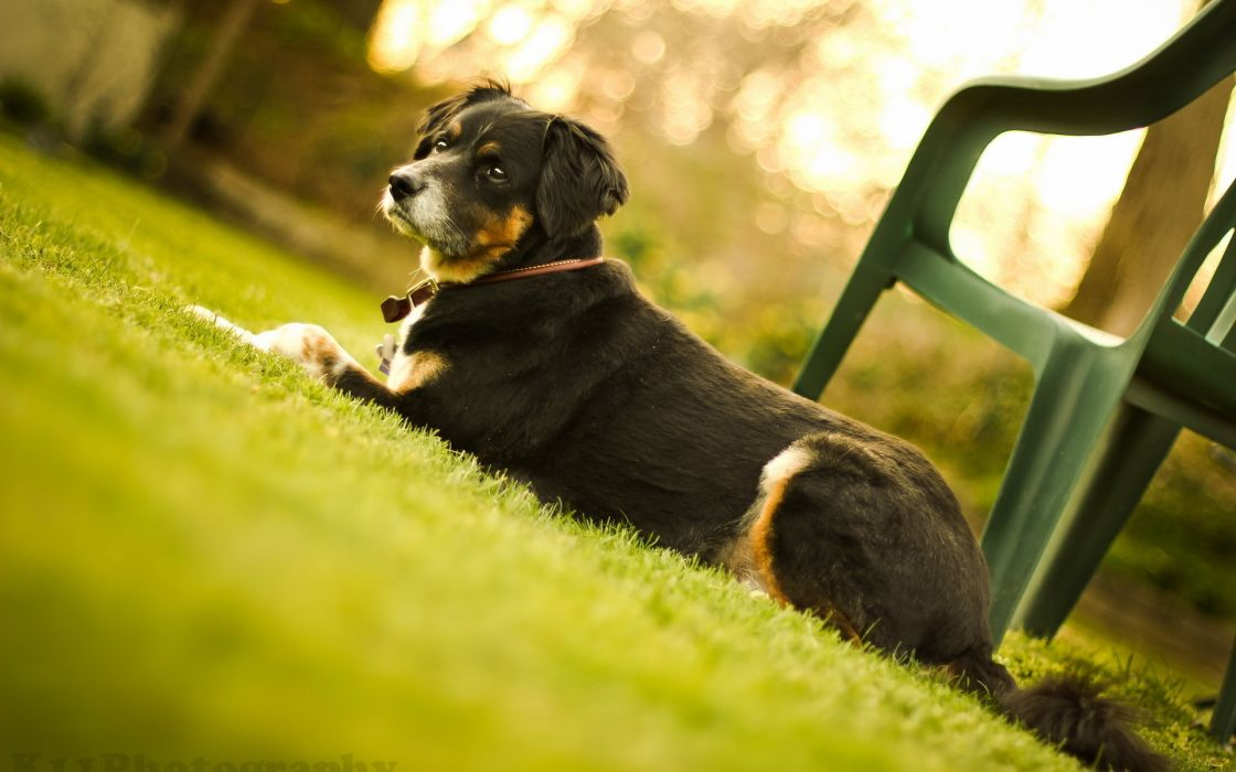 animals dogs canines fur whiskers eyes grass green wallpaper