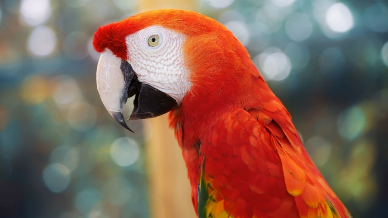 animals birds parrots tropical jungle face eyes color feather wallpaper