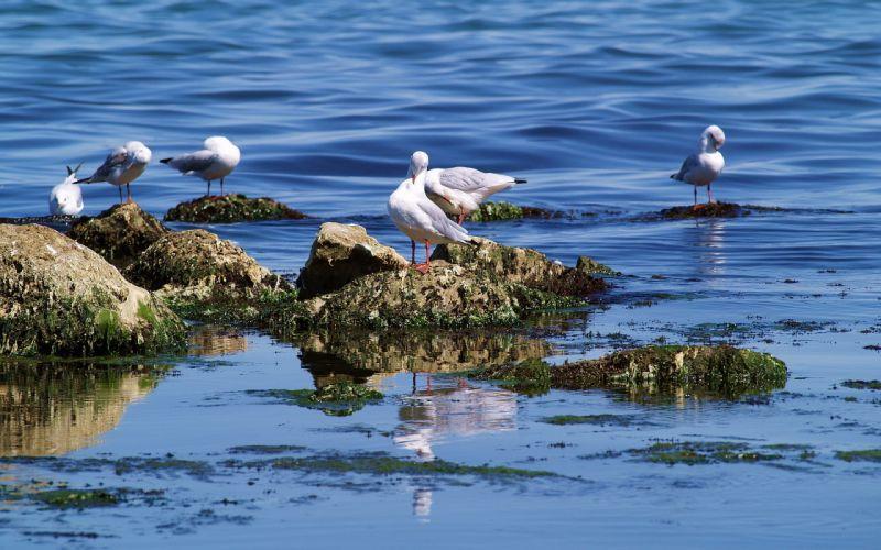animals birds seagulls gulls ocean sea lakes water rocks clams barnacles feathers flock marine wallpaper