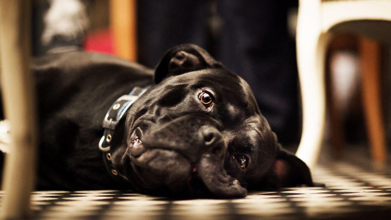 animals dogs canine cute face eyes black fur stare pov sunlight wallpaper