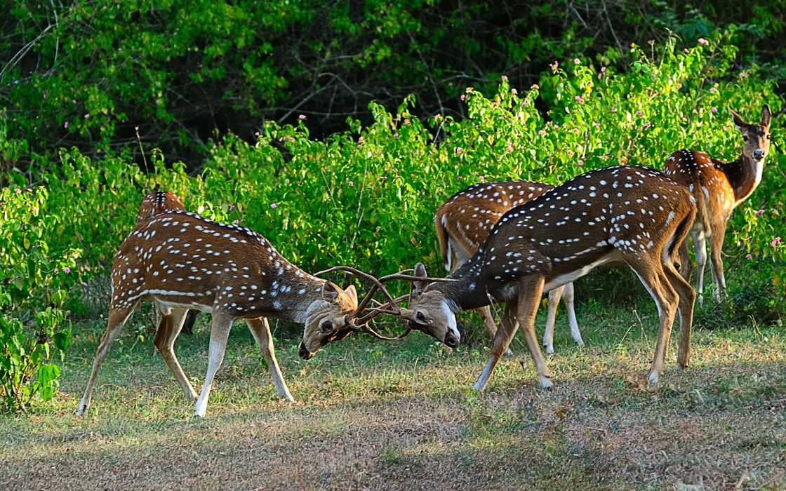 animals deer antlers spots fur play mood nature landscapes fields plants trees meadow greens leaves wildlife wallpaper