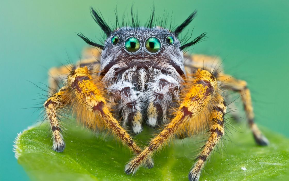 animals insects spider face eyes creepy spooky legs alien wallpaper