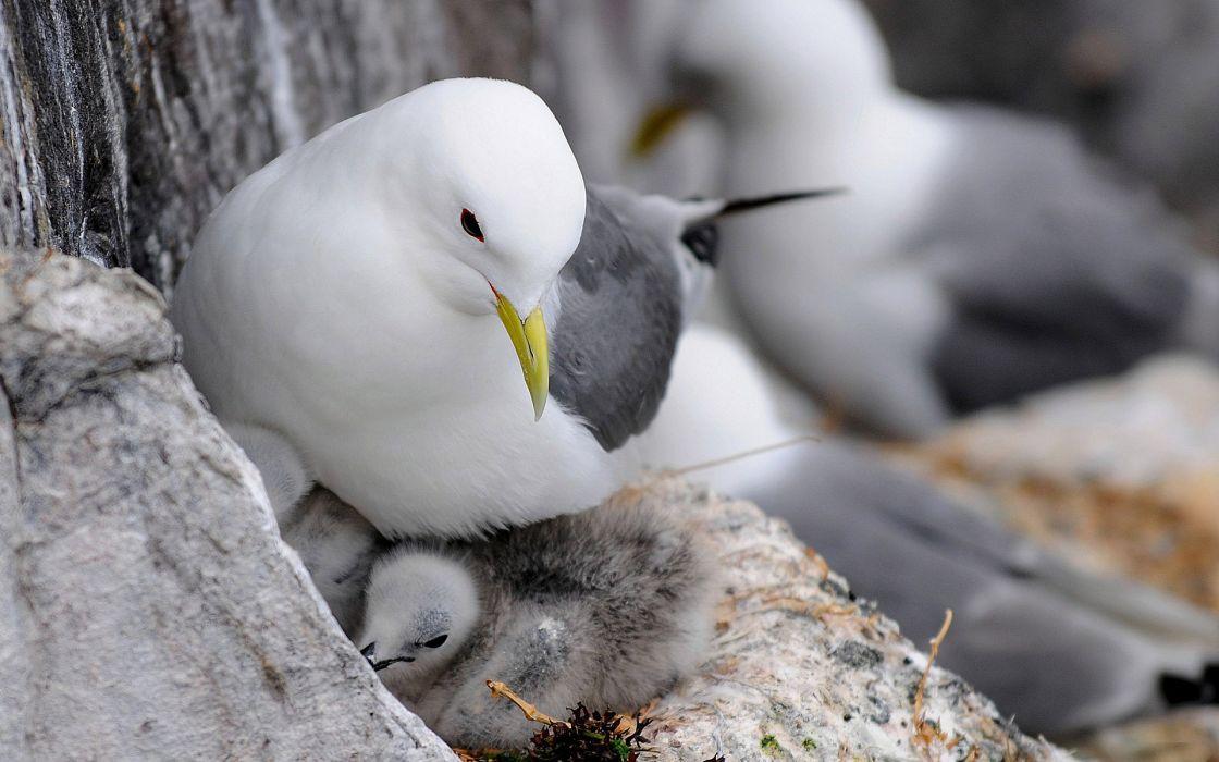 animals bird gull seagull chicks feathers mother love wallpaper