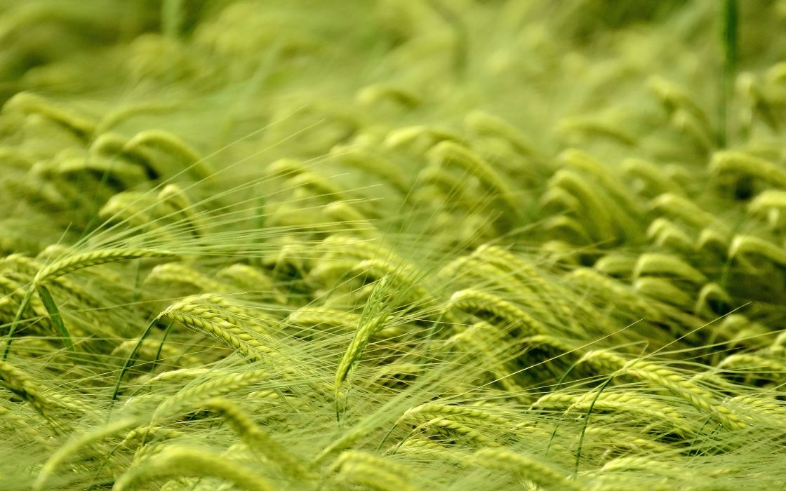 nature plants grass wheat grain crops green wallpaper
