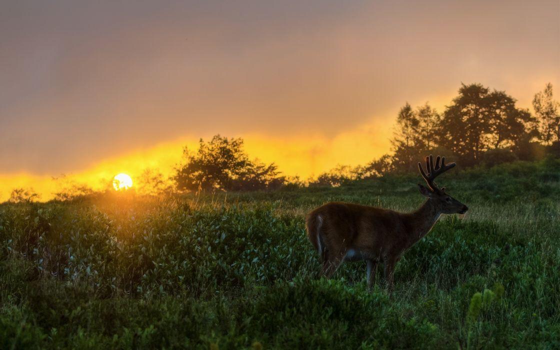 animals deer nature landscapes fields grass sky sunset sunrise sunlight wallpaper