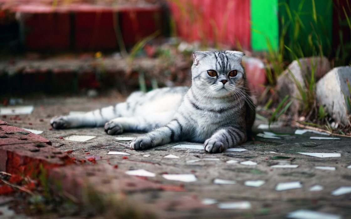 animals cats feline fur face eyes whiskers sidewalk path trail bricks urban stairs wallpaper