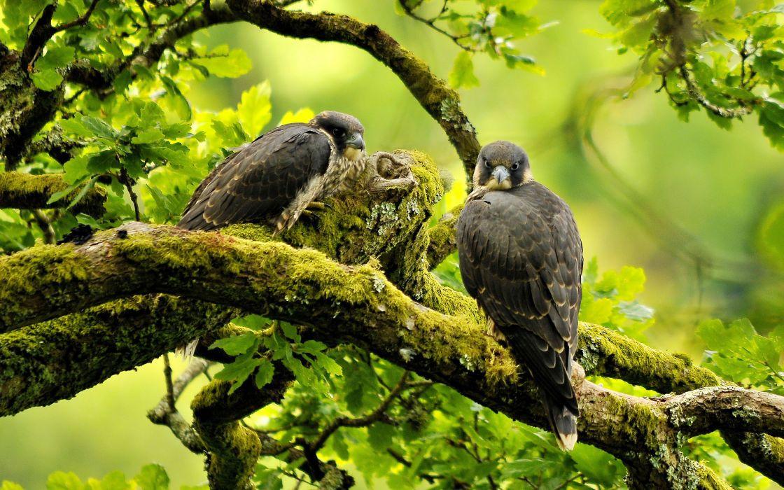 Falcon animals birds raptor predator trees forest green branch limb feathers eys stare pov wildlife nature wallpaper