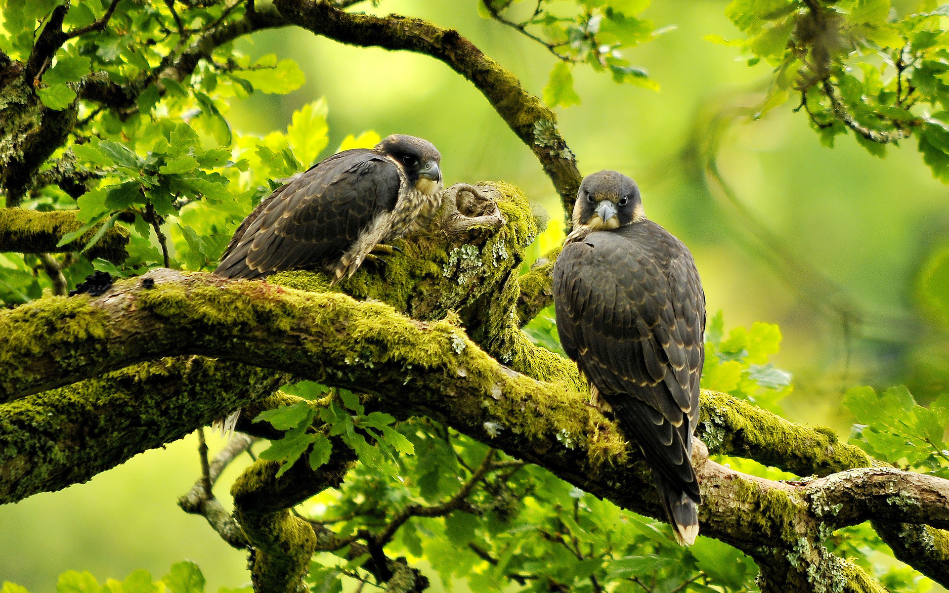 Falcon Animals Birds Raptor Predator Trees Forest Green
